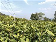 茶叶大国为什么不是出口大国?缘何单产量比不上印度?