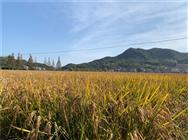 江西省关于贯彻落实水稻机械化收获减损技术指导意见的函